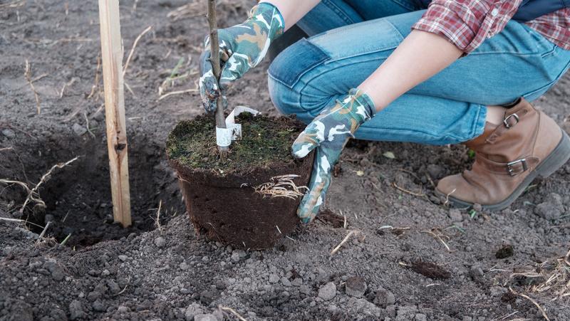Sadzenie drzewek i krzewów owocowych